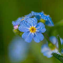 Myosotis scorpioides under dew HMM (de_frakke) Tags: macromondays fourelements water dew flower blue bokeh