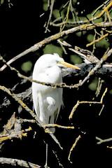 grande aigrette dans un arbre mort (j2p51) Tags: whiteheron grandeaigrette