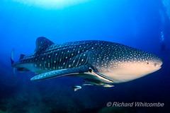 A huge Whale Shark in a blue tropical ocean (Ko Bon, Thailand) (WhitcombeRD) Tags: sharks whaleshark tropicalfish big fish whale reef philippines kohbon sea snorkeling majestic diving swimming life coralreef silhouette water deep surface background nature diver asia caribbean wild huge coral indonesia aquatic exotic scuba typus similan clear sun blue underwater wildlife rhincodon travel swim shark tropical animal ocean fauna giant marine thailand