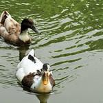 hello ducky thumbnail
