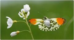Male Orange-tip II - Coombe Hill Meadows (glostopcat) Tags: orangetipbutterfly butterfly insect invertebrate macro glos april spring wildflower cuckooflower ladyssmock coombehillmeadowsnaturereserve gloucestershirewildlifetrust