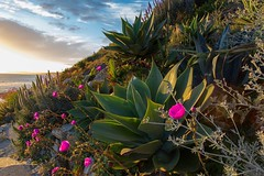 Coastal succulent sunset. (Lisa Roeder) Tags: morrobay morrostrandstatebeach sunset succulents