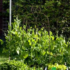 (gwendolen) Tags: moestuinbeginmei2019 veggie garden kitchen moestuin gardening