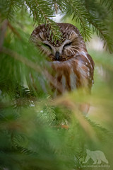 Sleepy Saw-whet Owl (fascinationwildlife) Tags: animal wild wildlife nature natur park toronto northern saw whet owl eule kauz sägekauz tree resting bird birding urban city kanada canada baum forest evergreen sleepy raptor vo vogel ontario spring