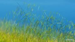 1-Collage21-002  in the wind (parco Increa) (profmarilena) Tags: wildgrass inthewind macro closeup artwork profmarilena pond