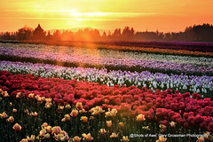 As The Sun Sets (Gary Grossman) Tags: tulips sundown sunset flowers oregon landscape northwest willamette beauty garygrossmanphotography garygrossman pacificnorthwest landscapephotography willamettevalley woodenshoetulipfarm