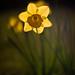 Nahaufnahme von Narcissen im Freien
