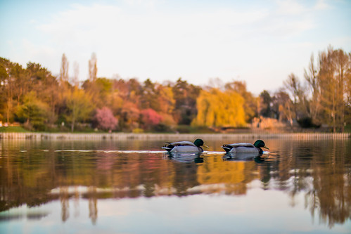 Male ducks swimming at the lake