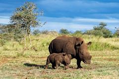 White Rhinoceros with her little cub (Lassetjus photo) Tags: zimanga southafrica fantasticnature white rhino cub gamedrive