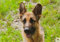 Pastore tedesco (Allevamento Casa Caligiani) Tags: schäferhund pastoretedesco germanshepherd gsd dog cane