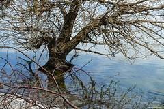 Water's Edge (gabi-h) Tags: tree water trunksubmerged princeedwardpoint lakeontario longpoint pointtraverse princeedwardcounty gabih reflections branches blue calm ontario spring greatlakes