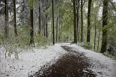 Frühlingsschnee (Toni_V) Tags: m2400837 rangefinder digitalrangefinder messsucher leica leicam mp toniv typ240 type240 35lux 35mmf14asphfle hiking wanderung sundaymorningphototour uetliberg zurich zürich frühling spring switzerland schweiz suisse svizzera svizra europe snow schnee ©toniv 2019 190505 wald forest trees wanderweg trail