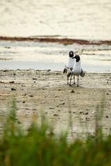 Laughing Gulls (phoca2004) Tags: gooseislandstatepark birding z6 nikon aransascounty leucophaeusatricilla birds rockport laughinggull texas unitedstatesofamerica