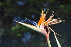 DSC_4267 (earthdog) Tags: 2019 needstags needstitle nikon nikond5600 d5600 18300mmf3563 santaclara greatamerica amusementpark park themepark plant flower birdofparadise
