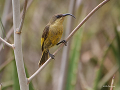 Golden-winged Sunbird Drepanorhynchus r. reichenowi (nik.borrow) Tags: bird sunbird ndutu