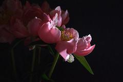 Mai à la maison - May at home (Evim@ge) Tags: fleurs fleur flowers pivoine rose printemps printanier spring light lumière lighty flower peonies pink