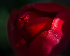Tulips can be so moody. (LauriNovakPhotography) Tags: spring tulip flowers floral dew illinois macro red rain droplets chicagobotanicgardens mondays macromondays fourelements