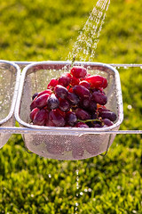 fresh grapes (auntneecey) Tags: grapes outdoors water waterdrops 365the2019edition 3652019 day133365 13may19