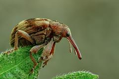 Rüsselkäfer (Curculionidae) - Größe 4 mm (Explored) (AchimOWL) Tags: käfer insekt insect tier tiere animal makro macro gx80 schärfentiefe outdoor wildlife lumix panasonic postfocusstack ngc textur beetle macrodreams rüsselkäfer fauna natur nature bielefeld owl deutschland brennessel explored explore