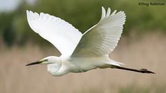 Great Egret at Ham Wall (DougRobertson) Tags: greategret wader wildlife water animal nature bird birdwatcher rspb hamwall