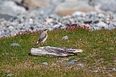Bird (Internaut_) Tags: steinskvett fugl fugler bird birds norwegianbirds wildlife herdla