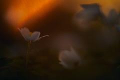 Buschwindröschen (generalstussner) Tags: buschwindröschen flower blume frühblüher natur nature spring frühling lichtstimmung sunset sun light beautifullight canon macro makro