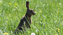 Hare, Hare, Hase (Lepus europaeus)-7166 (Kenneth Gerlach) Tags: animal animals brownhare danmark denmark dyr dänemark feldhase flowersplants hare landscape mammal mammalia outdoor pattedyr rabbit spring säugetiere wildlife natur nature