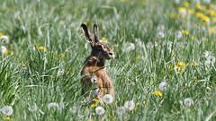 Hare, Hare, Hase (Lepus europaeus)-7154 (Kenneth Gerlach) Tags: animal animals brownhare danmark denmark dyr dänemark feldhase flowersplants hare landscape mammal mammalia outdoor pattedyr rabbit spring säugetiere wildlife natur nature