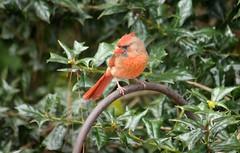 Don't Mess with Mama! (Sylvia...Sometimes) Tags: cardinal northerncardinal