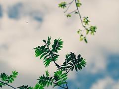 Nature Bokeh | Blick in den Himmel | 11. Mai 2019 | Schleswig-Holstein - Deutschland (torstenbehrens) Tags: blick den himmel | 11 mai 2019 schleswigholstein deutschland olympus penf 7xef50149mm f28 nature bokeh on1 on1pic