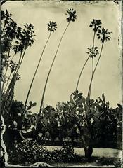 (Blurmageddon) Tags: 5x7 wetplatecollodion newguycollodion epsonv700 senecaimprovedview landscape arboretum losangelescountyarboretumandbotanicalgardens nature naturallight tintype alumitype cactus palmtree
