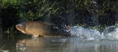 Hasard (Jacques Sauvé) Tags: poisson carpe carp fish éclaboussure pesca splash