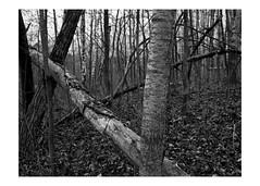 Fallen tree (Richard C. Johnson: AKA fishwrapcomix) Tags: panasonic lumixg9 20mmf17 blackandwhite bw monochrome landscape outdoor trees grandavenue thelandunloved theuntendedgarden rivervalley hires saintlouisriver decay hwy23 grass duluth minnesota icamesofarforbeauty sictransitgloriamundi