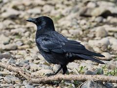 Kolkrabe (lebastian) Tags: panasonic dmcgx8 lumix g vario 100300f4056ii kolkrabe rabe raven crow animal tier vogel bird gefieder