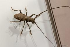 Morimus asper solitaire (c.mallié) Tags: insecte cerambycidae insect longicorne animal canon macro france