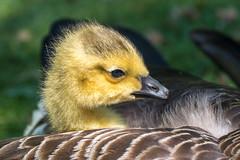 A Feather bed (Maria-H) Tags: canadagoose gosling glossop derbyshire uk olympus omdem1markii panasonic 100400 brantacanadensis