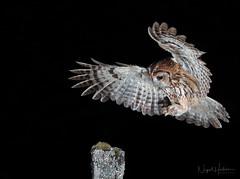 Tawny Owl (Nigel Hodson) Tags: canon 1dxmkii 300mmf28mkii owl tawny tawnyowl owls wildlife wildlifephotography nature naturephotography birds birdphotography bird birdofprey ianhowells