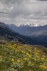 Methow Valley, Wa (Ed.Stockard) Tags: spring springtime flowers wildflowers arrowleafbalsamroot yellow sunmtlodge patersonmt methowvalley methow wa washington mazama northcascades