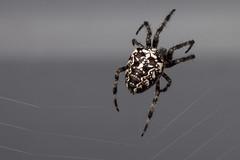 Black Beauty, Pt. 2 - _TNY_7553 (Calle Söderberg) Tags: macro canon canon5dmkii canoneos5dmarkii canon5dmarkii canonef100mmf28usmmacro raynox dcr250 flash twinflash yongnuo yn24ex arachnida araneae spindel spider spinne korsspindel europeangardenspider crossorbweaver crossspider cross crownedorbweaver diademspider araneus diadematus dark web nät spindelnät spiderweb kreutzspinne hjulspindel orbweaver black f16