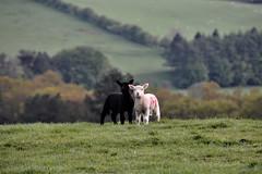 Ebony & Ivory.... (moniquerebanks) Tags: lam lamb sheep countryside ebonyivory lakedistrict uk cumbria schapen nature natuur countryliving lakeland unesco worldheritage lakelander scenery landscape landschap landschaft lammetje