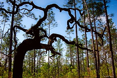 Silhouette (surfcaster9) Tags: trees pines nature outdoors lumixg7 lumix20mmf17llasph florida blue sky