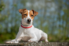Peter (Flemming Andersen) Tags: dog peter pet dansksvensk animal