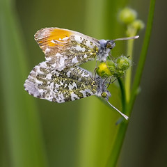 Anthocharis cardamines (Ouwesok) Tags: sonyslta77 sigmaapo56400mmmacro anthochariscardamines oranjetipje vlinder insect woldlakebos