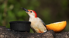Red-bellied Woodpecker Eating Jelly (ksblack99) Tags: bird redbelliedwoodpecker woodpecker melanerpescarolinus jelly
