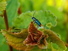 Common Malachite Beetle (niloc's pic's) Tags: malachitebeetle malachiusbipustulatus green beetle bug combevalley bexhillonsea eastsussex macro panasonic lumix dcg9