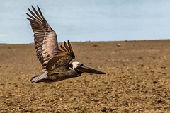 Brown Pelican (Jim Liestman) Tags: dingdarlingnwr brownpelican flying bird