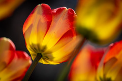 Ottawa Tulip Festival (Claude Tomaro) Tags: may meetup red scavengerhunt tulip yellow