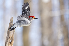 Woody (CJ Burnell) Tags: lyndeshores ontario redbelliedwoodpecker whitby