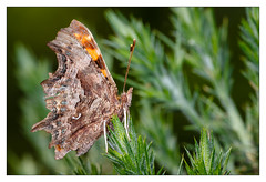 Comma Butterfly (Unintended_Keith) Tags: comma butterfly insect orange green spring wildlife canon1dx sigma180mmf28apomacroexdgoshsm kx800macrotwinflash