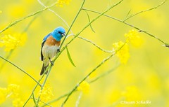 Hanging out in the mustard (Photosuze) Tags: buntings lazulibuntings birds avians aves animals nature wildlife mustard flowers flora colorful male